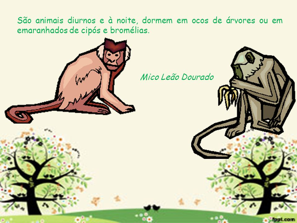 São animais diurnos e à noite, dormem em ocos de árvores ou em emaranhados de cipós e bromélias. Mico Leão Dourado