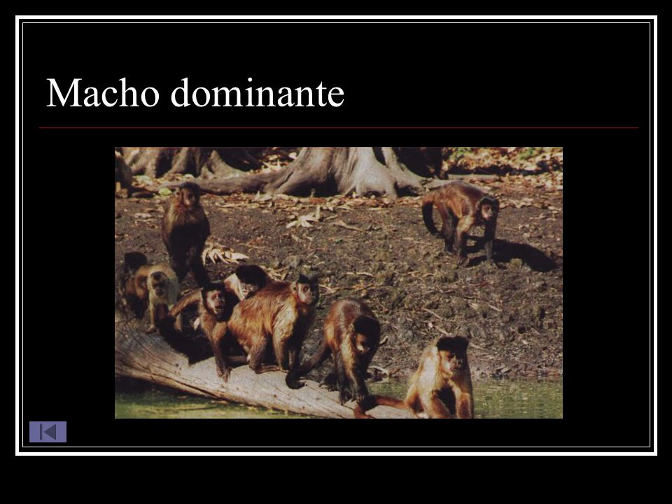 Macho dominante