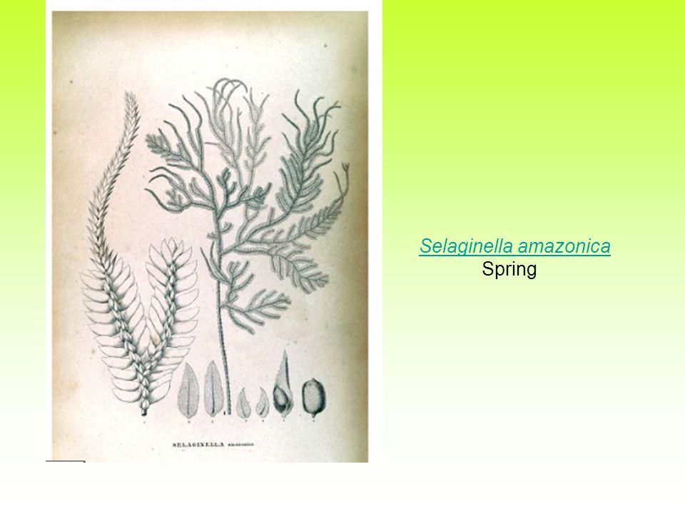 Selaginella amazonica SpringSelaginella amazonica