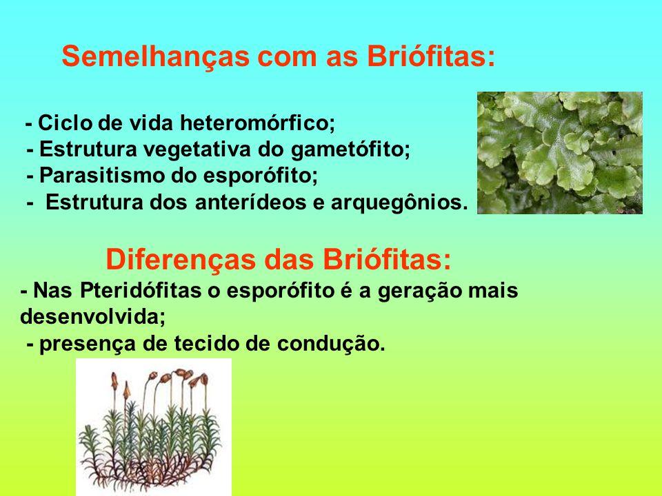 Semelhanças com as Briófitas: - Ciclo de vida heteromórfico; - Estrutura vegetativa do gametófito; - Parasitismo do esporófito; - Estrutura dos anterídeos e arquegônios.