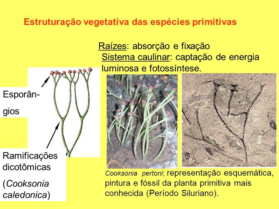 Estruturação vegetativa das espécies primitivas Raízes: absorção e fixação Sistema caulinar: captação de energia luminosa e fotossíntese. Ramificações