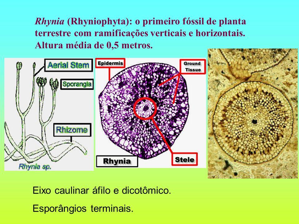 Rhynia (Rhyniophyta): o primeiro fóssil de planta terrestre com ramificações verticais e horizontais. Altura média de 0,5 metros. Eixo caulinar áfilo