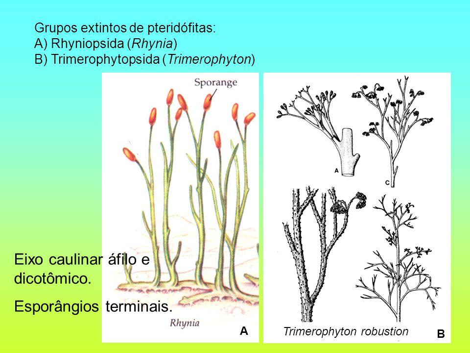 Grupos extintos de pteridófitas: A) Rhyniopsida (Rhynia) B) Trimerophytopsida (Trimerophyton) A B Eixo caulinar áfilo e dicotômico. Esporângios termin