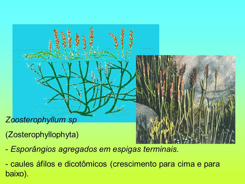Zoosterophyllum sp (Zosterophyllophyta) - Esporângios agregados em espigas terminais. - caules áfilos e dicotômicos (crescimento para cima e para baix