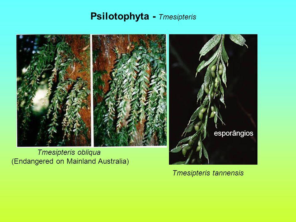 Psilotophyta - Tmesipteris Tmesipteris obliqua (Endangered on Mainland Australia) Tmesipteris tannensis esporângios