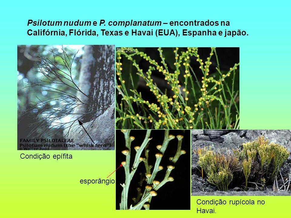 Psilotum nudum e P. complanatum – encontrados na Califórnia, Flórida, Texas e Havai (EUA), Espanha e japão. Condição rupícola no Havai. esporângio Con