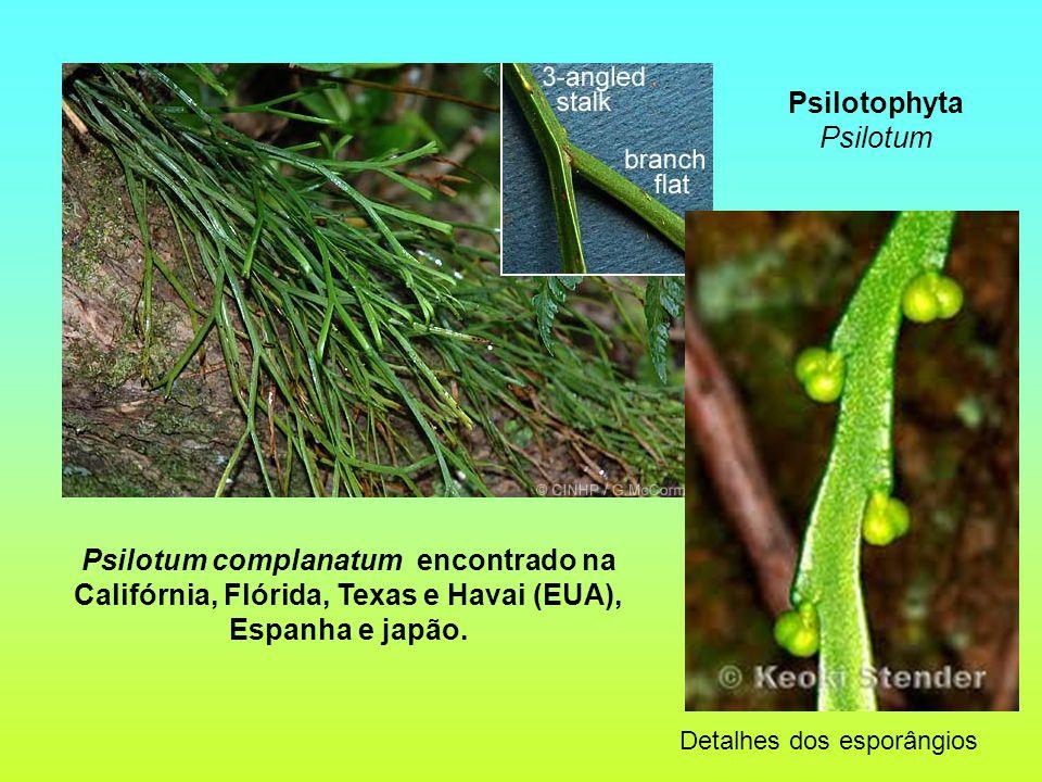Detalhes dos esporângios Psilotum complanatum encontrado na Califórnia, Flórida, Texas e Havai (EUA), Espanha e japão.