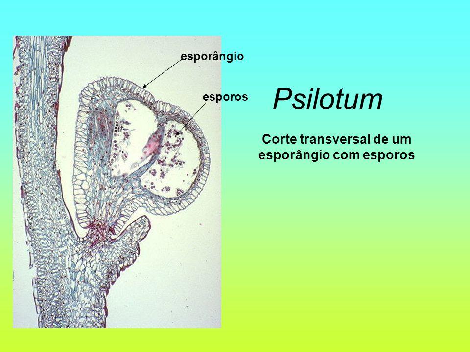 Corte transversal de um esporângio com esporos Psilotum esporângio esporos