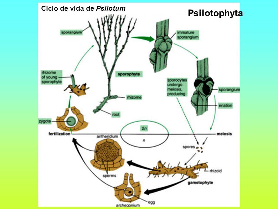 Ciclo de vida de Psilotum Psilotophyta