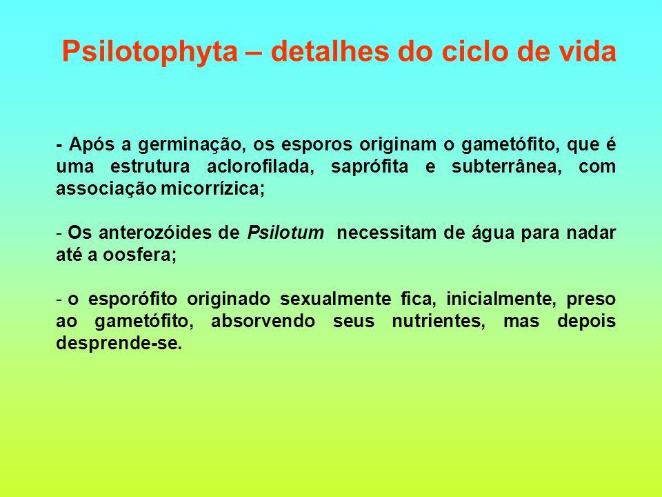 - Após a germinação, os esporos originam o gametófito, que é uma estrutura aclorofilada, saprófita e subterrânea, com associação micorrízica; - Os anterozóides de Psilotum necessitam de água para nadar até a oosfera; - o esporófito originado sexualmente fica, inicialmente, preso ao gametófito, absorvendo seus nutrientes, mas depois desprende-se.
