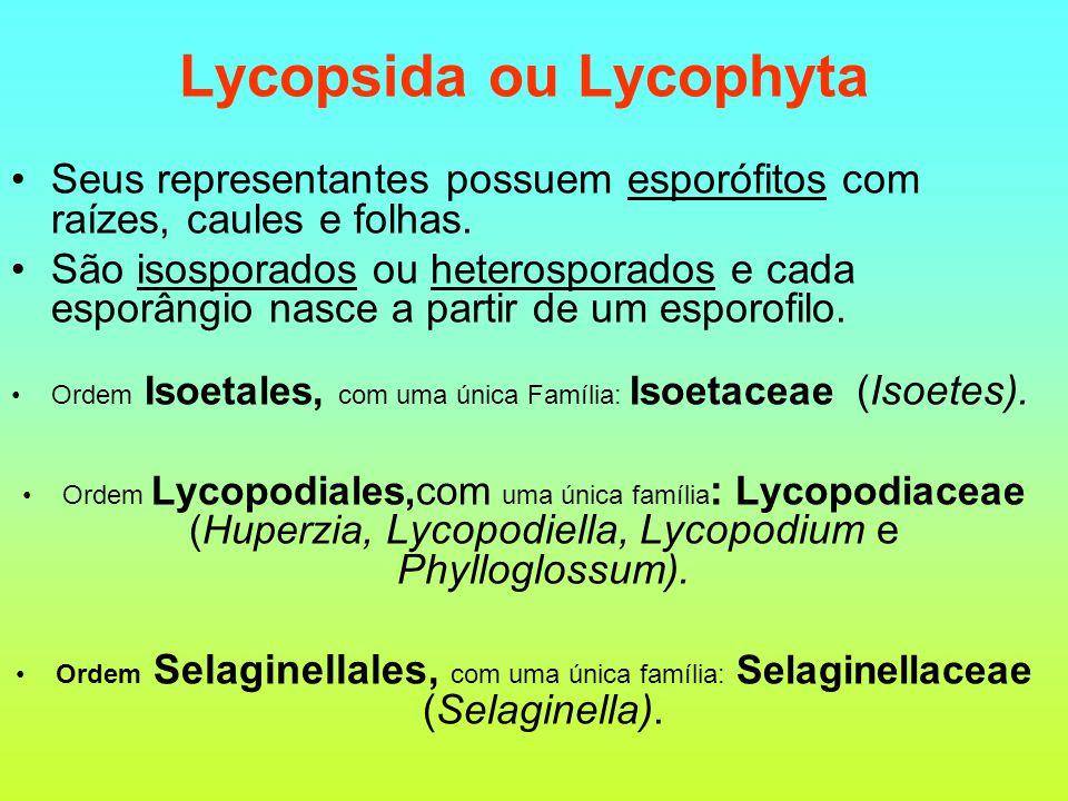Lycopsida ou Lycophyta Seus representantes possuem esporófitos com raízes, caules e folhas. São isosporados ou heterosporados e cada esporângio nasce