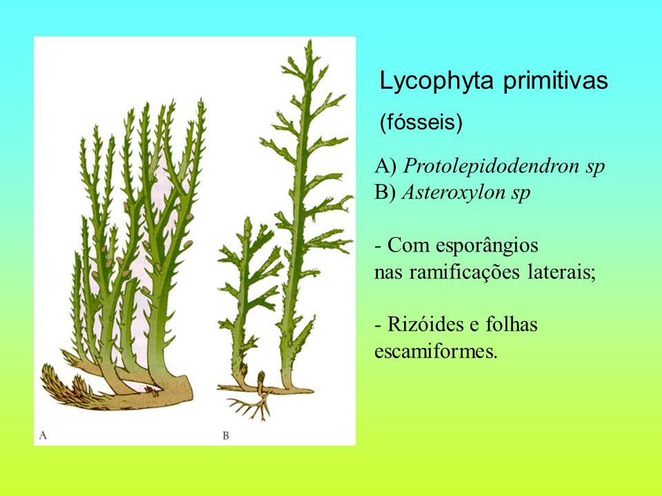 A) Protolepidodendron sp B) Asteroxylon sp - Com esporângios nas ramificações laterais; - Rizóides e folhas escamiformes.
