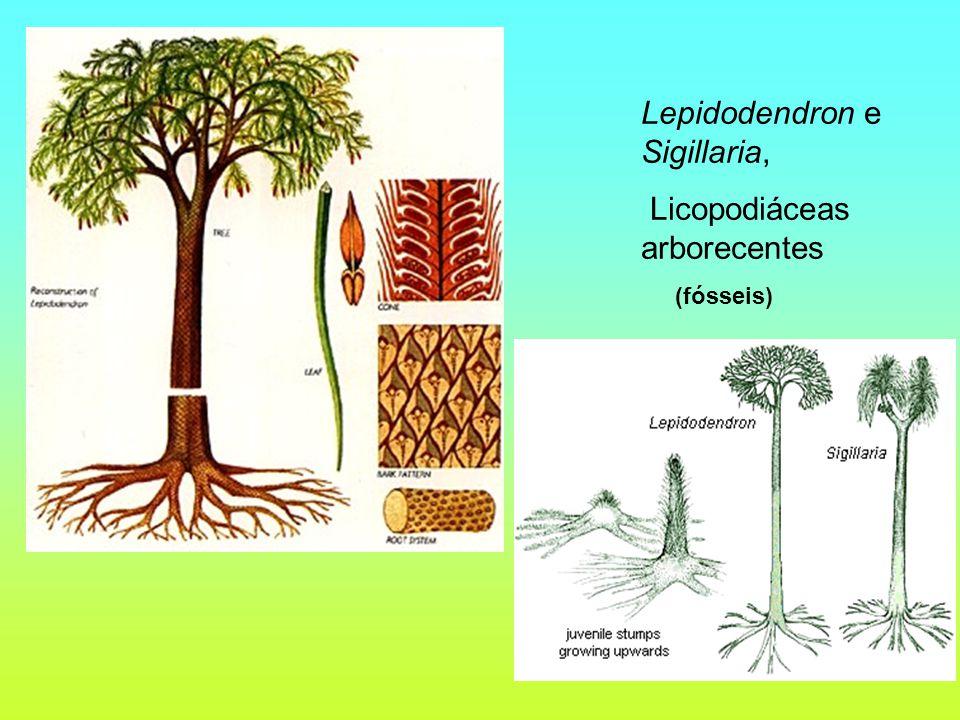 Lepidodendron e Sigillaria, Licopodiáceas arborecentes (fósseis)