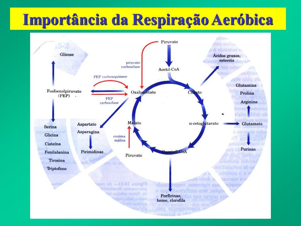 Importância da Respiração Aeróbica