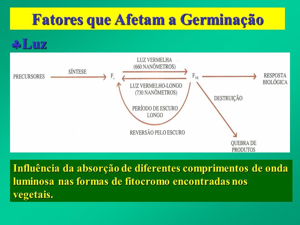 Fatores que Afetam a Germinação Luz Luz Influência da absorção de diferentes comprimentos de onda luminosa nas formas de fitocromo encontradas nos veg