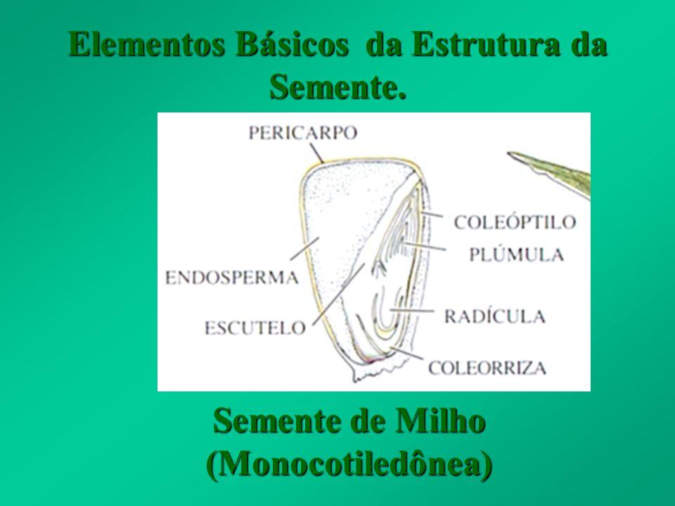 Elementos Básicos da Estrutura da Semente. Semente de Feijão (Dicotiledônea)