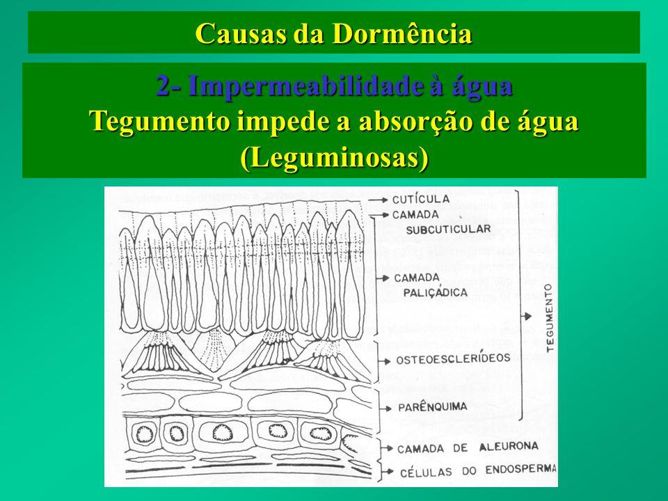 Causas da Dormência 2- Impermeabilidade à água Tegumento impede a absorção de água (Leguminosas)