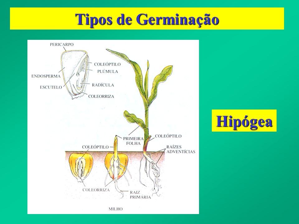 Período de pré-esfriamento na superação da dormência de sementes de azevém-anual (Lolium multiflorum) - Eichelberger, 2001.