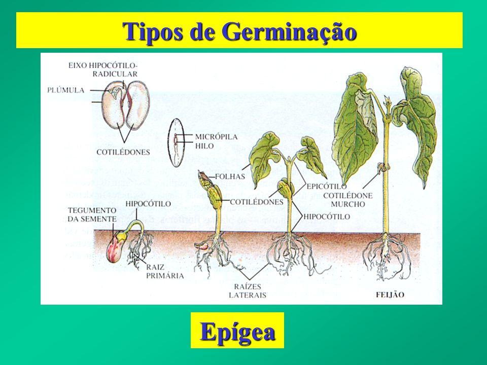 Fases do Processo Germinativo a) Hidratação ou Embebição b) Elevação da Taxa Respiratória c) Ativação e Síntese Enzimática d) Digestão de Reservas e) Mobilização e Transp.
