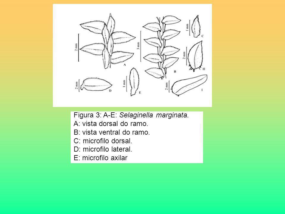 Figura 3: A-E: Selaginella marginata. A: vista dorsal do ramo. B: vista ventral do ramo. C: microfilo dorsal. D: microfilo lateral. E: microfilo axila