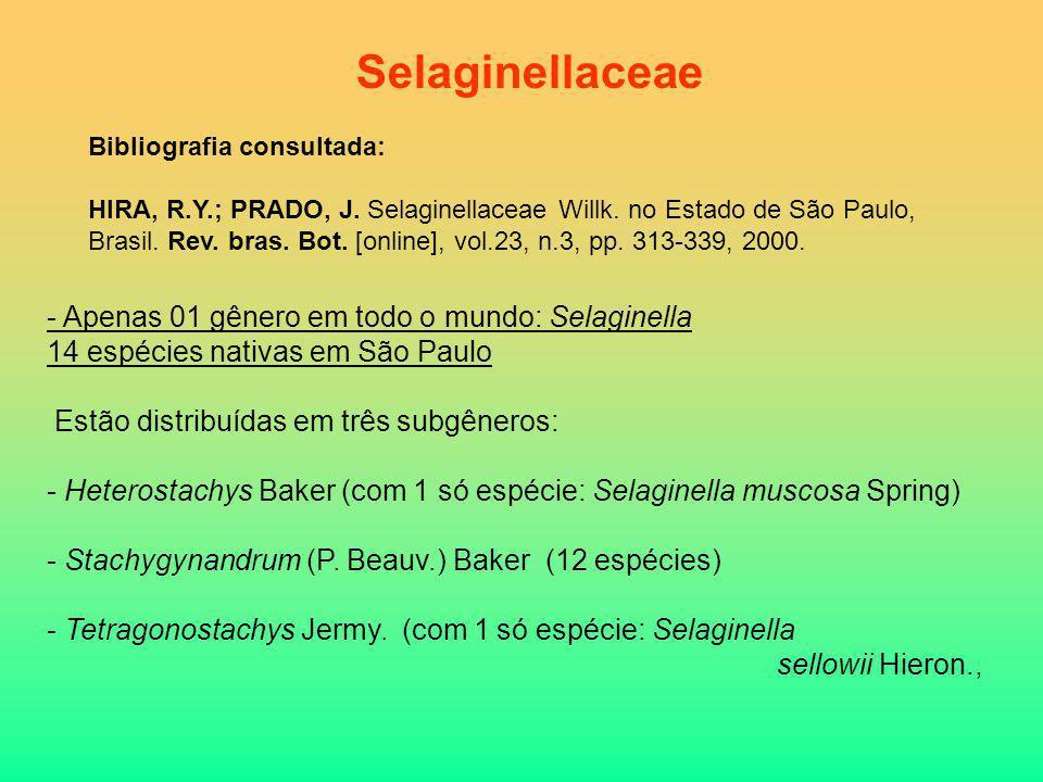 - Apenas 01 gênero em todo o mundo: Selaginella 14 espécies nativas em São Paulo Estão distribuídas em três subgêneros: - Heterostachys Baker (com 1 s