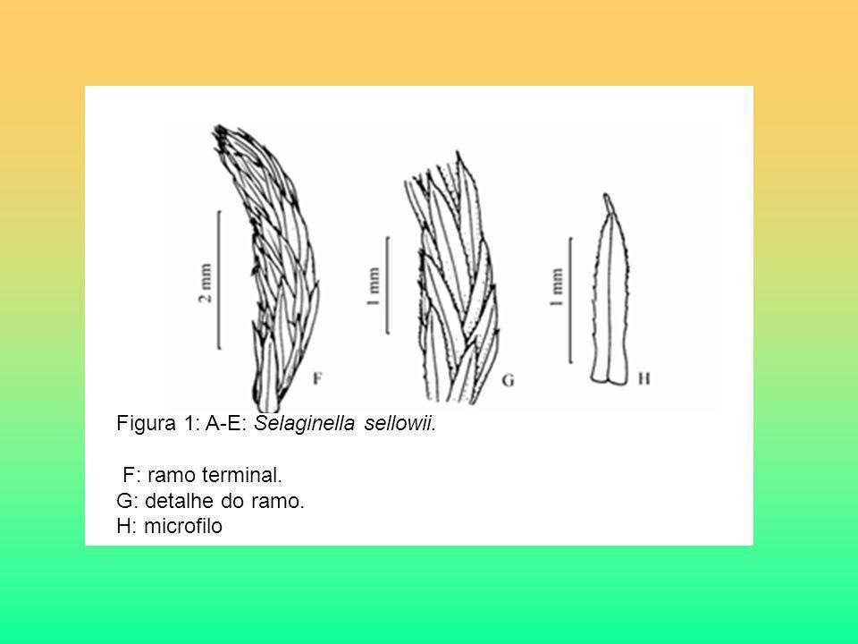 Figura 1: A-E: Selaginella sellowii. F: ramo terminal. G: detalhe do ramo. H: microfilo