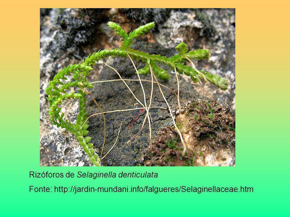 Rizóforos de Selaginella denticulata Fonte: http://jardin-mundani.info/falgueres/Selaginellaceae.htm