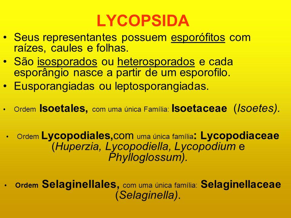 LYCOPSIDA Seus representantes possuem esporófitos com raízes, caules e folhas. São isosporados ou heterosporados e cada esporângio nasce a partir de u