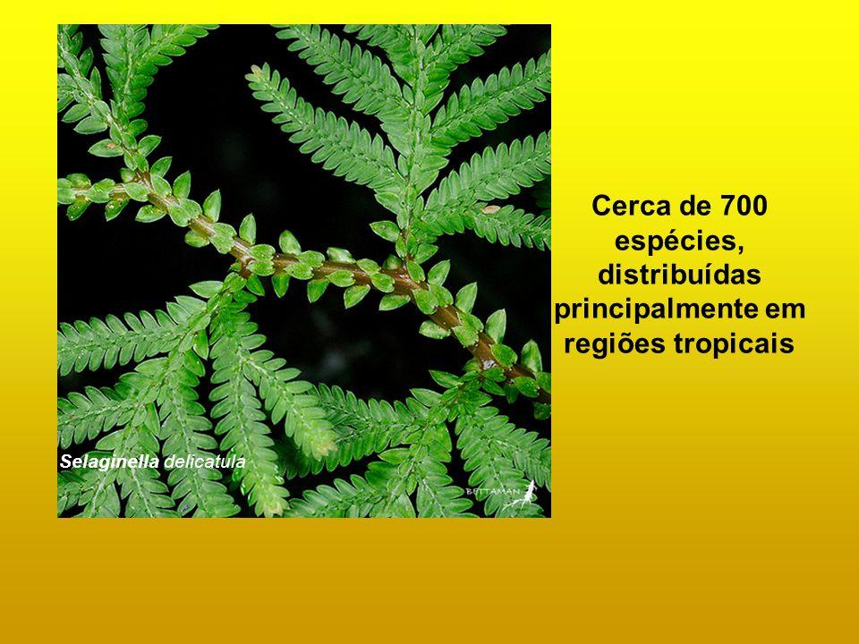 Selaginella delicatula Cerca de 700 espécies, distribuídas principalmente em regiões tropicais