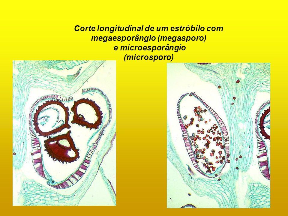 Corte longitudinal de um estróbilo com megaesporângio (megasporo) e microesporângio (microsporo)