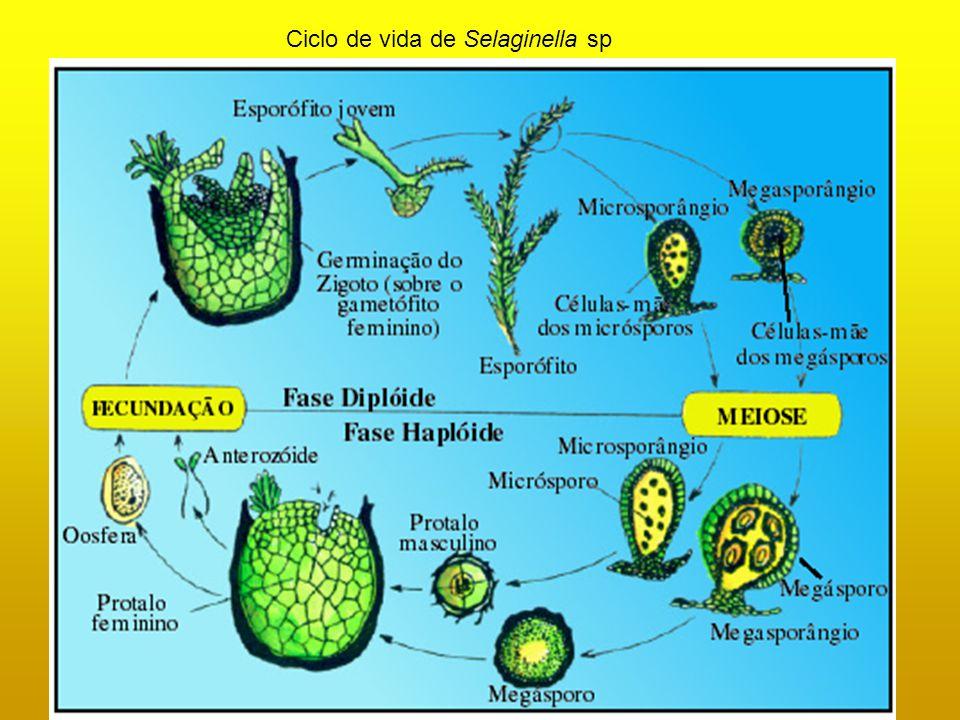 Ciclo de vida de Selaginella sp