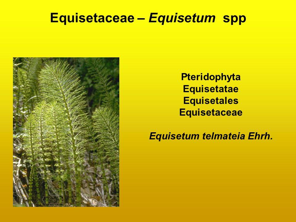 Equisetaceae – Equisetum spp Pteridophyta Equisetatae Equisetales Equisetaceae Equisetum telmateia Ehrh.