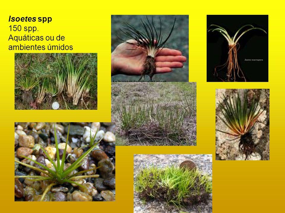 Isoetes spp 150 spp. Aquáticas ou de ambientes úmidos