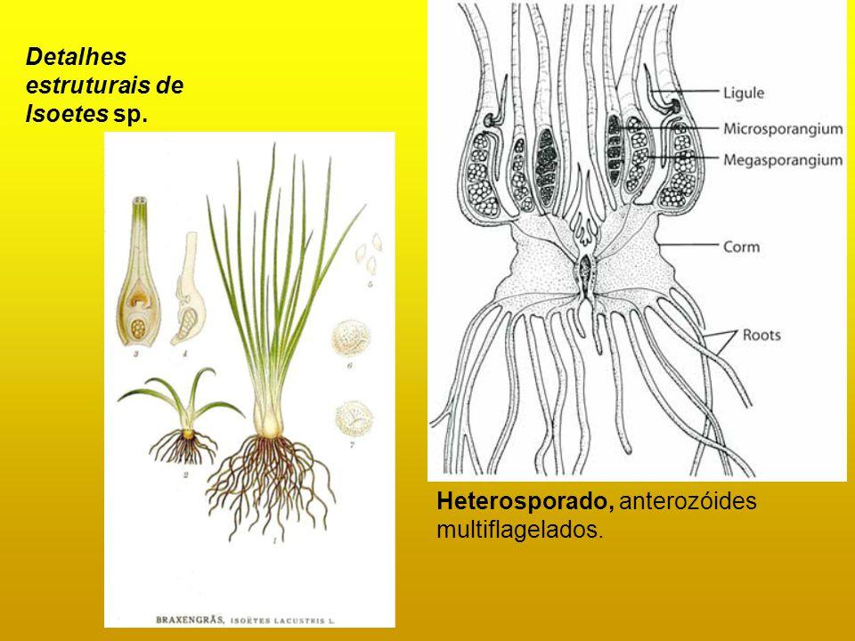 Detalhes estruturais de Isoetes sp. Heterosporado, anterozóides multiflagelados.