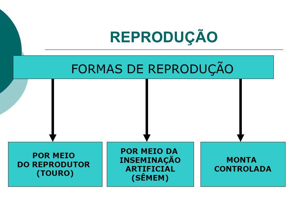 REPRODUÇÃO FORMAS DE REPRODUÇÃO POR MEIO DO REPRODUTOR (TOURO) POR MEIO DA INSEMINAÇÃO ARTIFICIAL (SÊMEM) MONTA CONTROLADA