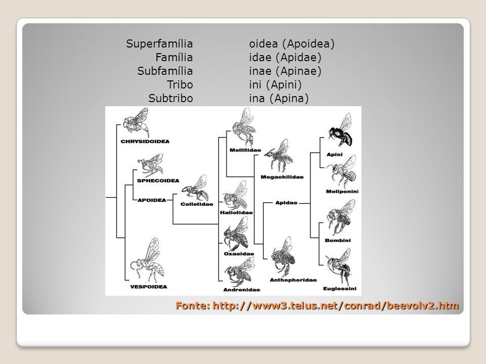 Superfamília Família Subfamília Tribo Subtribo oidea (Apoidea) idae (Apidae) inae (Apinae) ini (Apini) ina (Apina) Fonte: http://www3.telus.net/conrad/beevolv2.htm