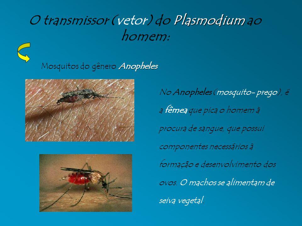 Plasmodium O transmissor (vetor) do Plasmodium ao homem: Anopheles Mosquitos do gênero Anopheles No Anopheles (mosquito- prego), é a fêmea que pica o