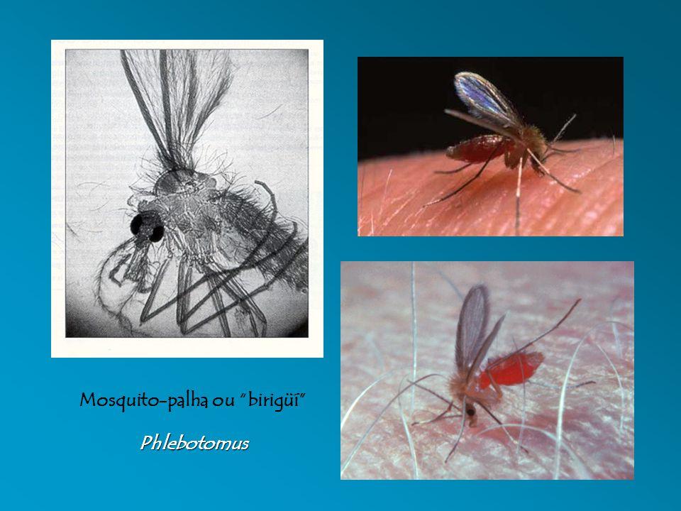 Mosquito-palha ou birigüíPhlebotomus