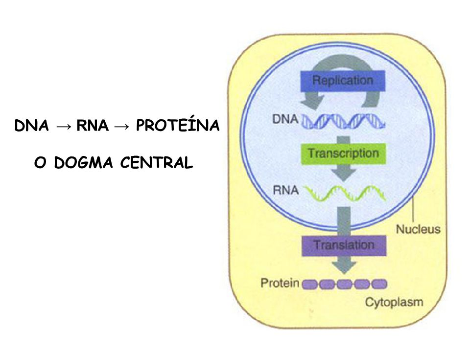 DNA RNA PROTEÍNA O DOGMA CENTRAL