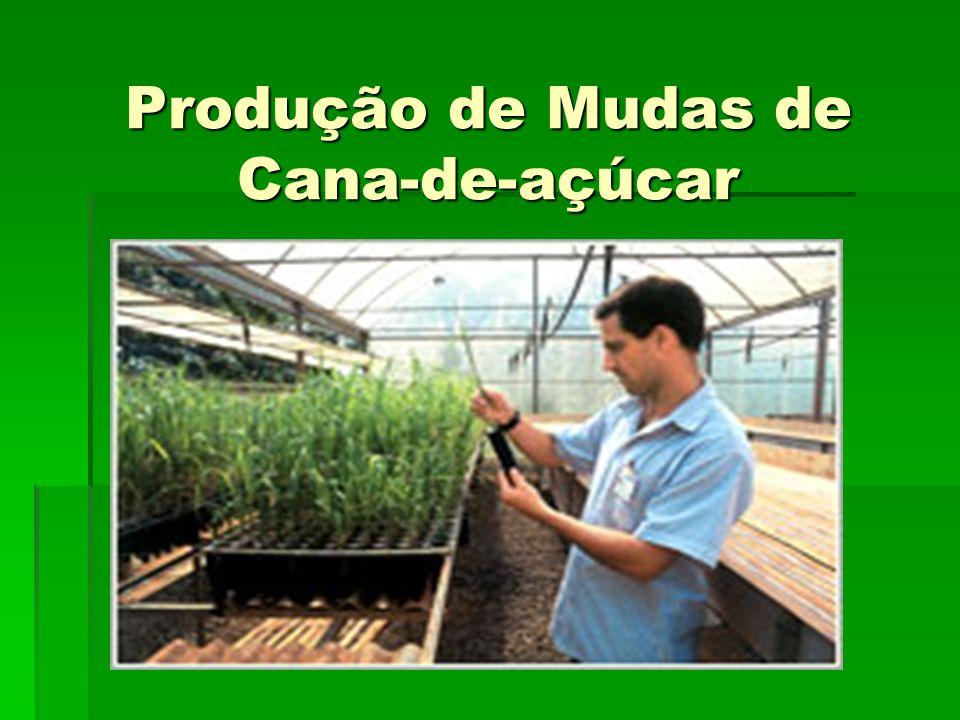 Produção de Mudas de Cana-de-açúcar