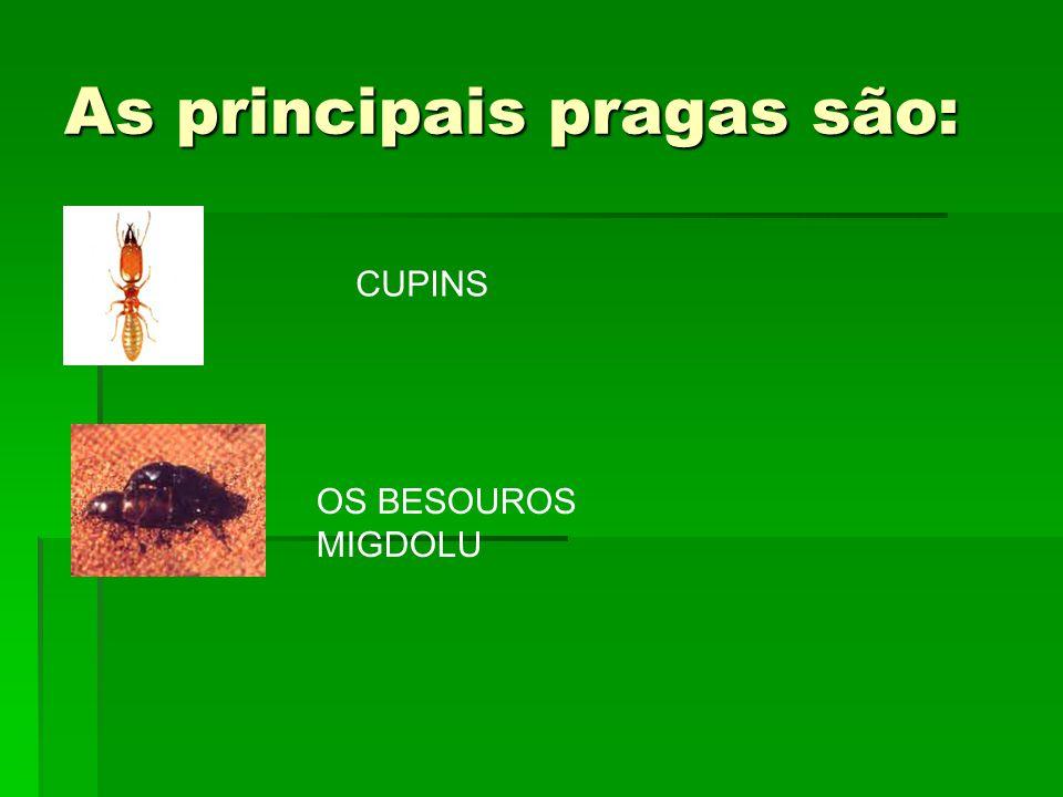 As principais pragas são: CUPINS OS BESOUROS MIGDOLU