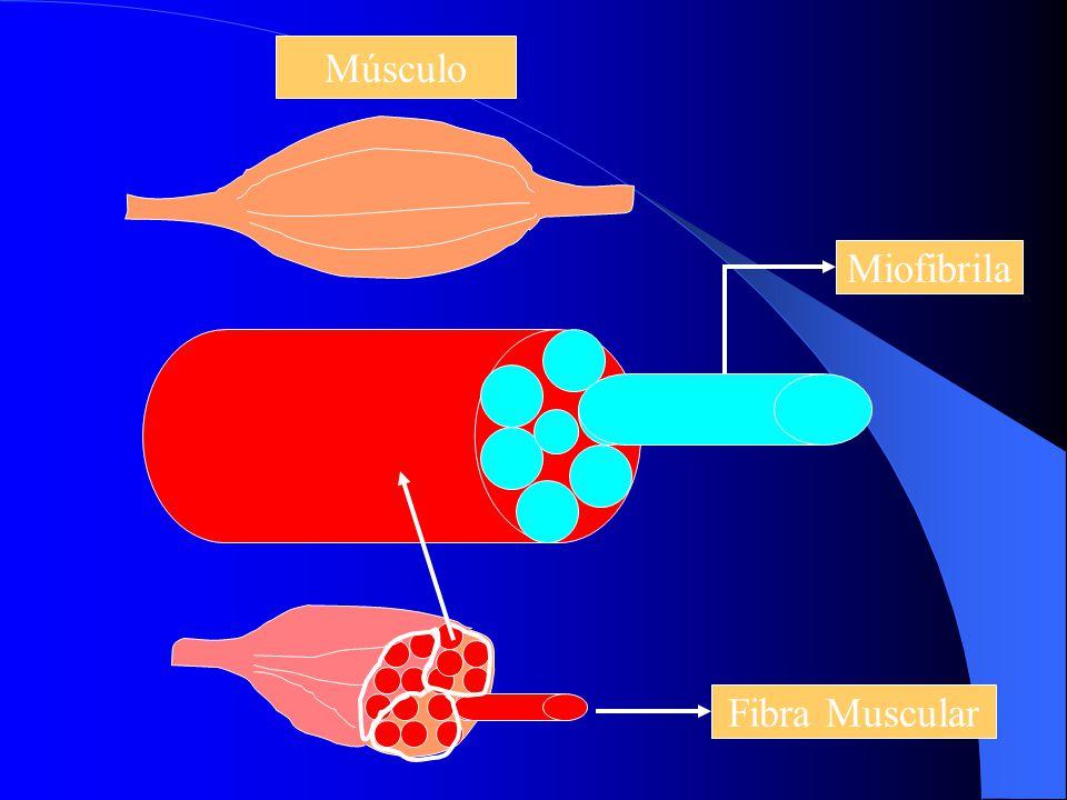 ESTRUTURA Cada fibra é envolvido por tecido conjuntivo, denominado ENDOMÍSIO Feixe de até 150 fibras é envolta por tecido conjuntivo denominado PERIMÍ