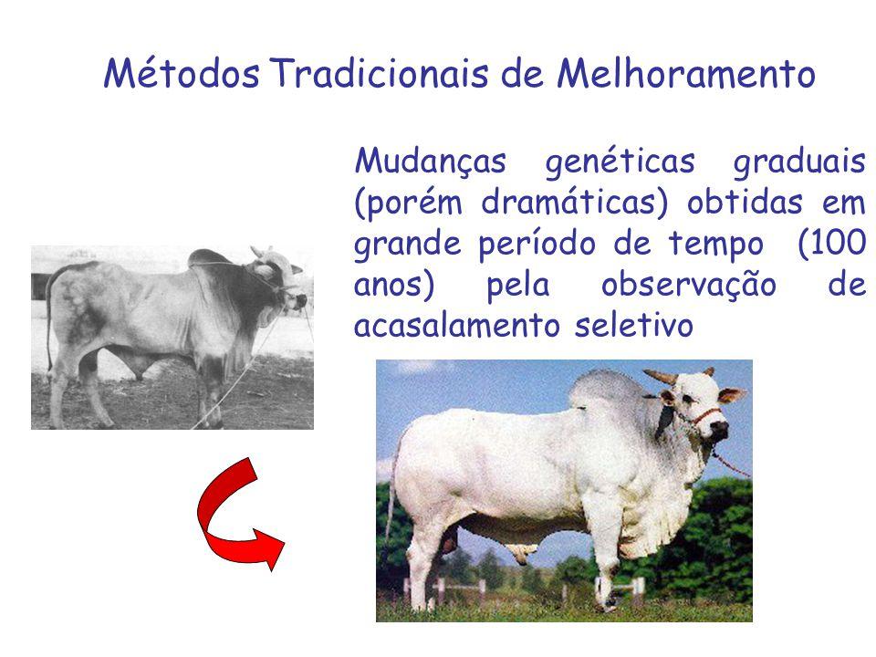Métodos Tradicionais de Melhoramento Mudanças genéticas graduais (porém dramáticas) obtidas em grande período de tempo (100 anos) pela observação de a