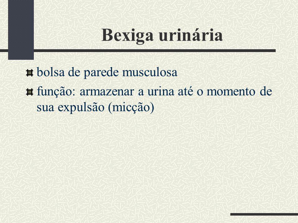 Bexiga urinária bolsa de parede musculosa função: armazenar a urina até o momento de sua expulsão (micção)