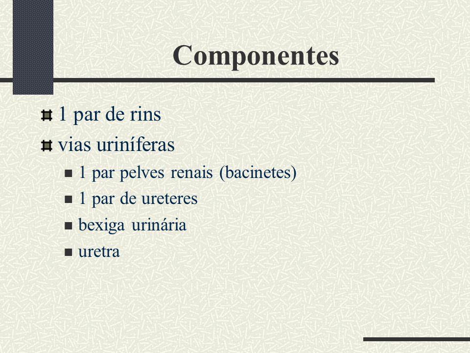 Componentes 1 par de rins vias uriníferas 1 par pelves renais (bacinetes) 1 par de ureteres bexiga urinária uretra