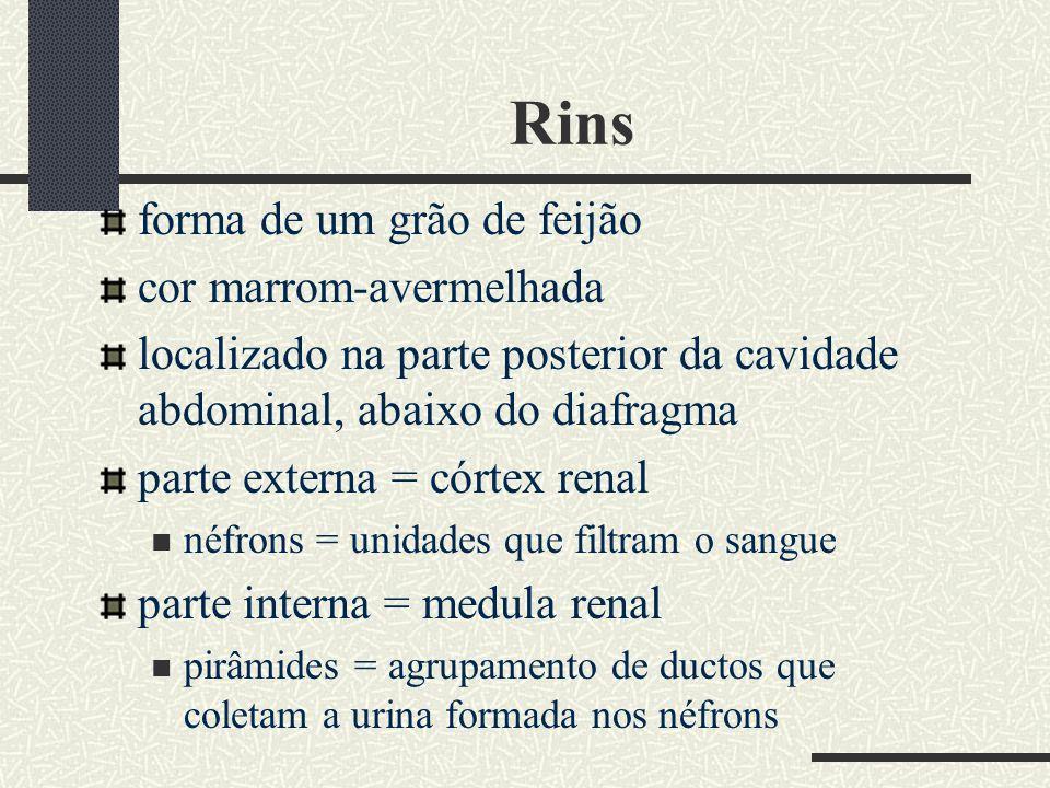 Rins forma de um grão de feijão cor marrom-avermelhada localizado na parte posterior da cavidade abdominal, abaixo do diafragma parte externa = córtex