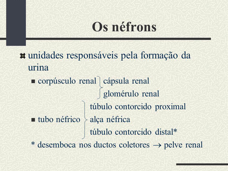 Eliminação da urina armazenamento da urina trazida pelos ureteres até encher a bexiga micção = esvaziamento completo da bexiga com a eliminação da urina pela uretra esfíncter uretral = permite o acúmulo da urina na bexiga estímulos nervosos provocam o desejo de urinar, controlado pela vontade, com o relaxamento do esfíncter