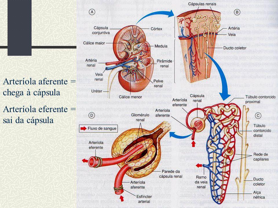 Arteríola aferente = chega à cápsula Arteríola eferente = sai da cápsula