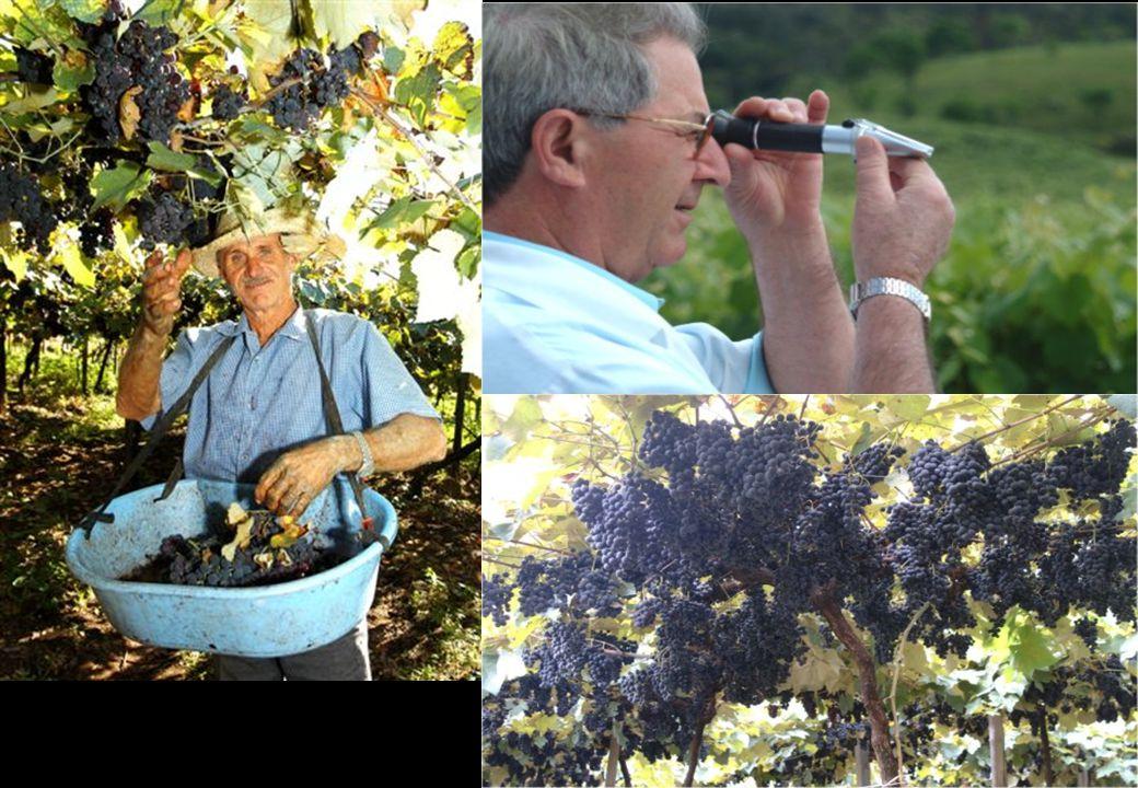 A Maior produtora e vendedora de Vinhos do Brasil Fonte AGAVI – Associação Gaúcha dos Vitivinicultores - 2003