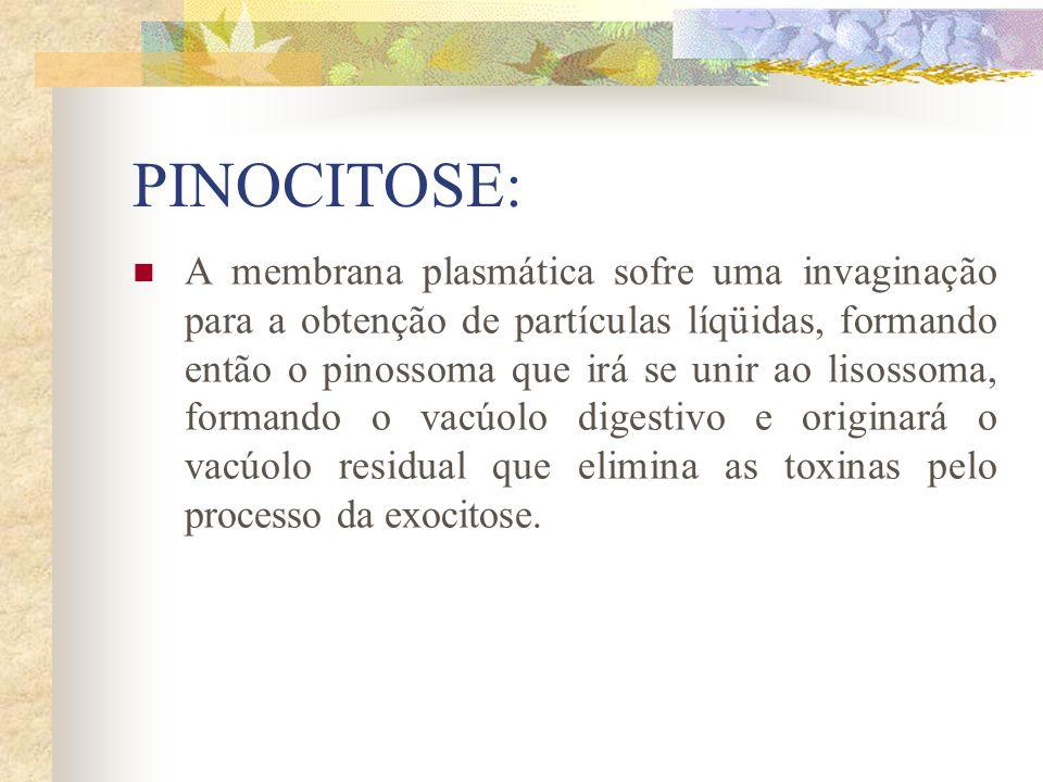 PINOCITOSE: A membrana plasmática sofre uma invaginação para a obtenção de partículas líqüidas, formando então o pinossoma que irá se unir ao lisossom